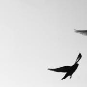 freedom_pigeons