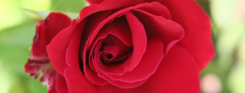 rose-italy